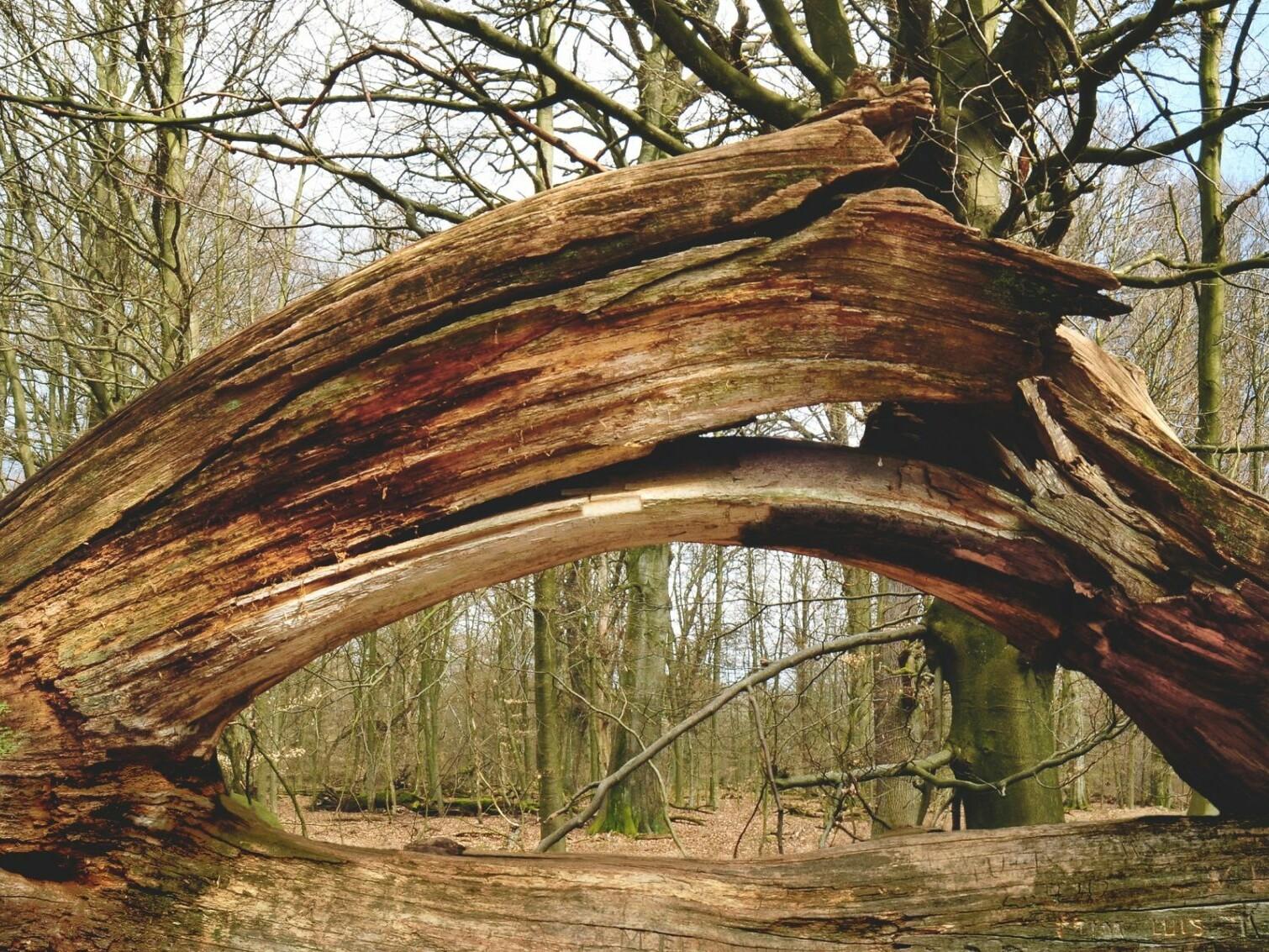 Auseinandergebrochener Baum im Urwald Sababurg Foto-Michael Gäbler